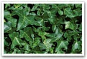 English Ivy Invasive Species