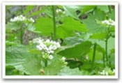 Garlic Mustard Invasive Species