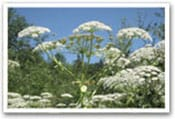 Giant Hogweed Invasive Species