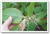 Japanese Knotweed Invasive Species