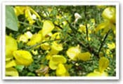 Scotch Broom Invasive Species